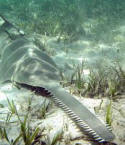 Smalltooth sawfish