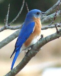 Male bluebird. (c) Marshall Faintich