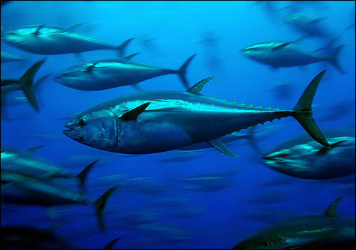 Southern blue fin tuna. Image from www.thewe.com
