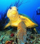Loggerhead turtles use the earth's magnetic field to navigate. Click to visit the Lohmann Lab at UNC to learn more.