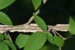 "Winged elm (Ulmus alata) showing characteristic ""corky wings."" (c) 2002 Steven J. Baskauf, Vanderbilt Univ."