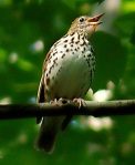 Wood thrush (c) Marshall Faintich
