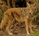 Coywolf. (animalpicturesarchive.com)