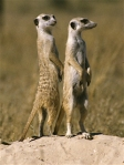 Meerkats, (c) Roberta Stacy