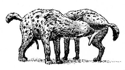 Spotted hyenas displaying a social erection and associated social ...