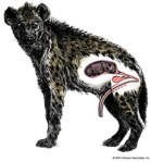 A female spotted hyena's unique masculinized clitoris.