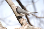Dark eyed junco.