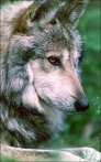Mexican wolf (Arizona Game and Fish Dept.)