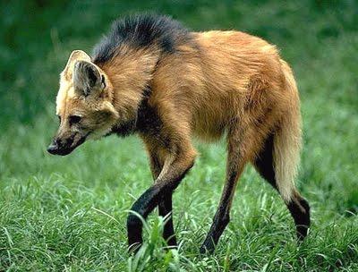 Maned Wolf Habitat Maned Wolf Featured on Bbc