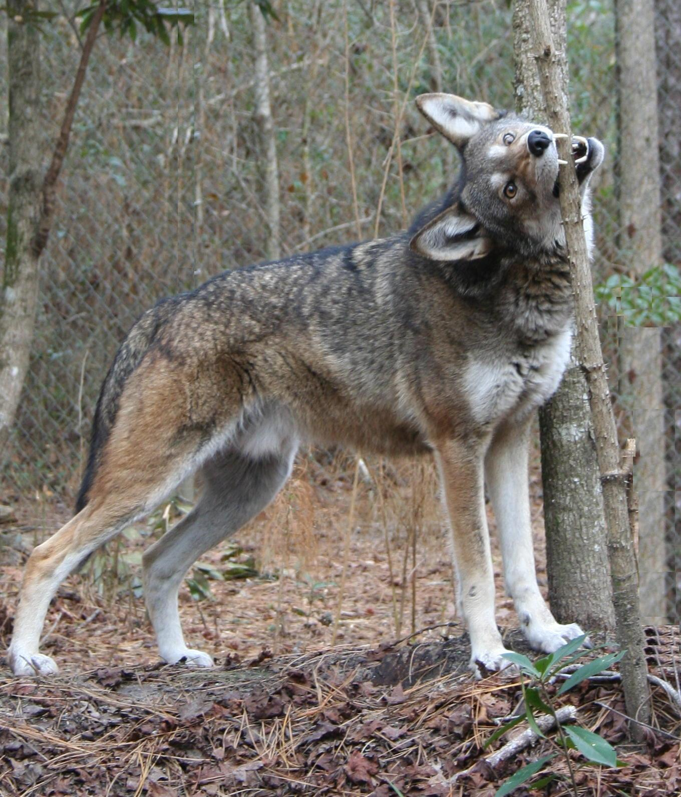 Captive male red wolf at Sandy Ridge facility, near Columbia, North ...