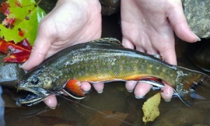 Eastern brook trout, photo from Trout Unlimited