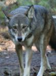 Captive male red wolf. Photo courtesy of Ryan Nordsven/USFWS