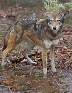 Captive red wolf, (c) FWS Red Wolf Recovery Program