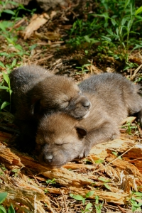 Red wolf puppies (FWS/Ryan Nordsven)